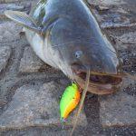 小貝川でナマズは釣れる?! 豊田堰に行きましょう!