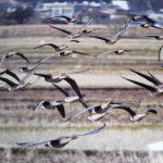 稲波干拓のオオヒシクイを見に行った! 飛翔する天然記念物